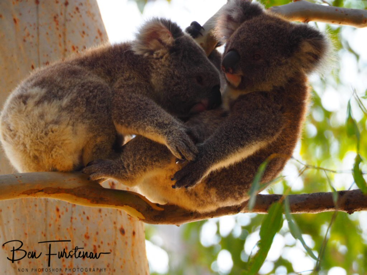 Sucking the life out of mom at Woodburn, Northern New South Wales, Australia