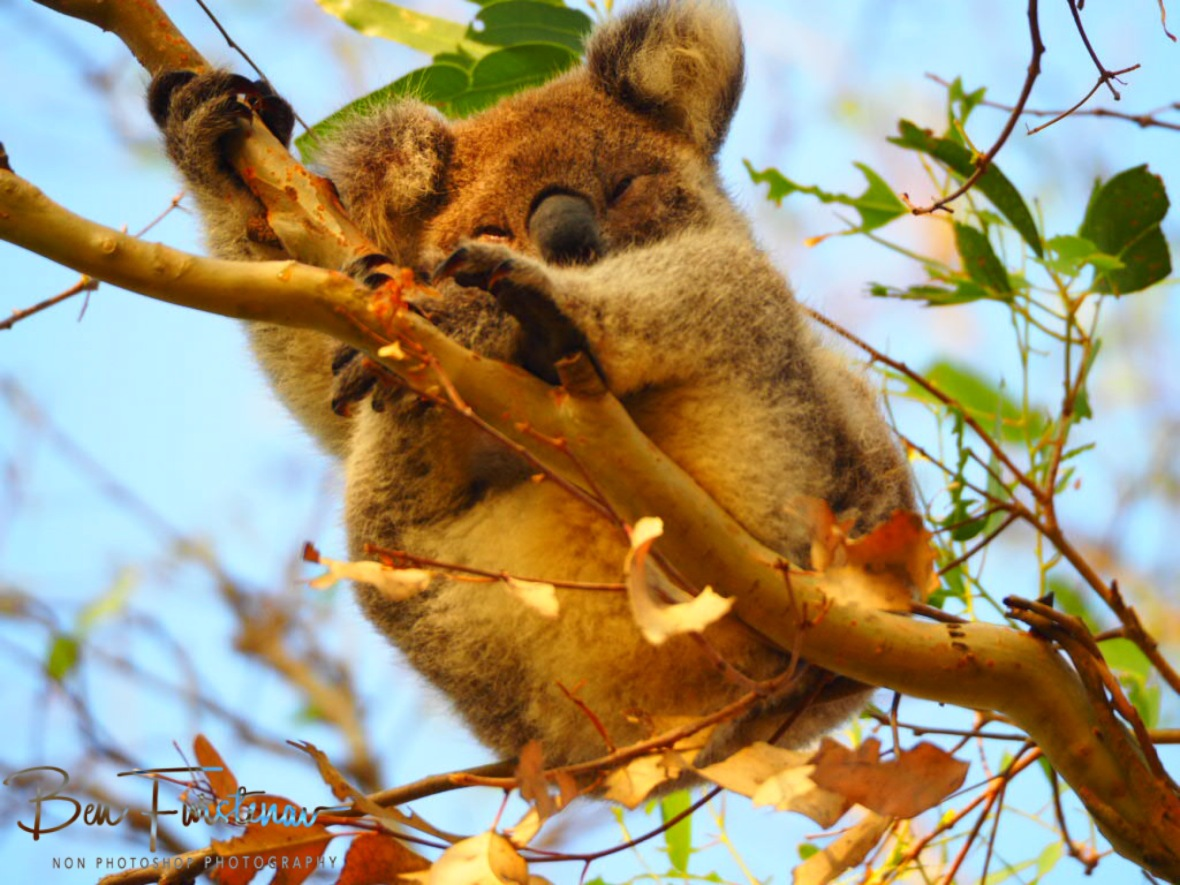 Happy koala  at Woodburn, Northern New South Wales, Australia