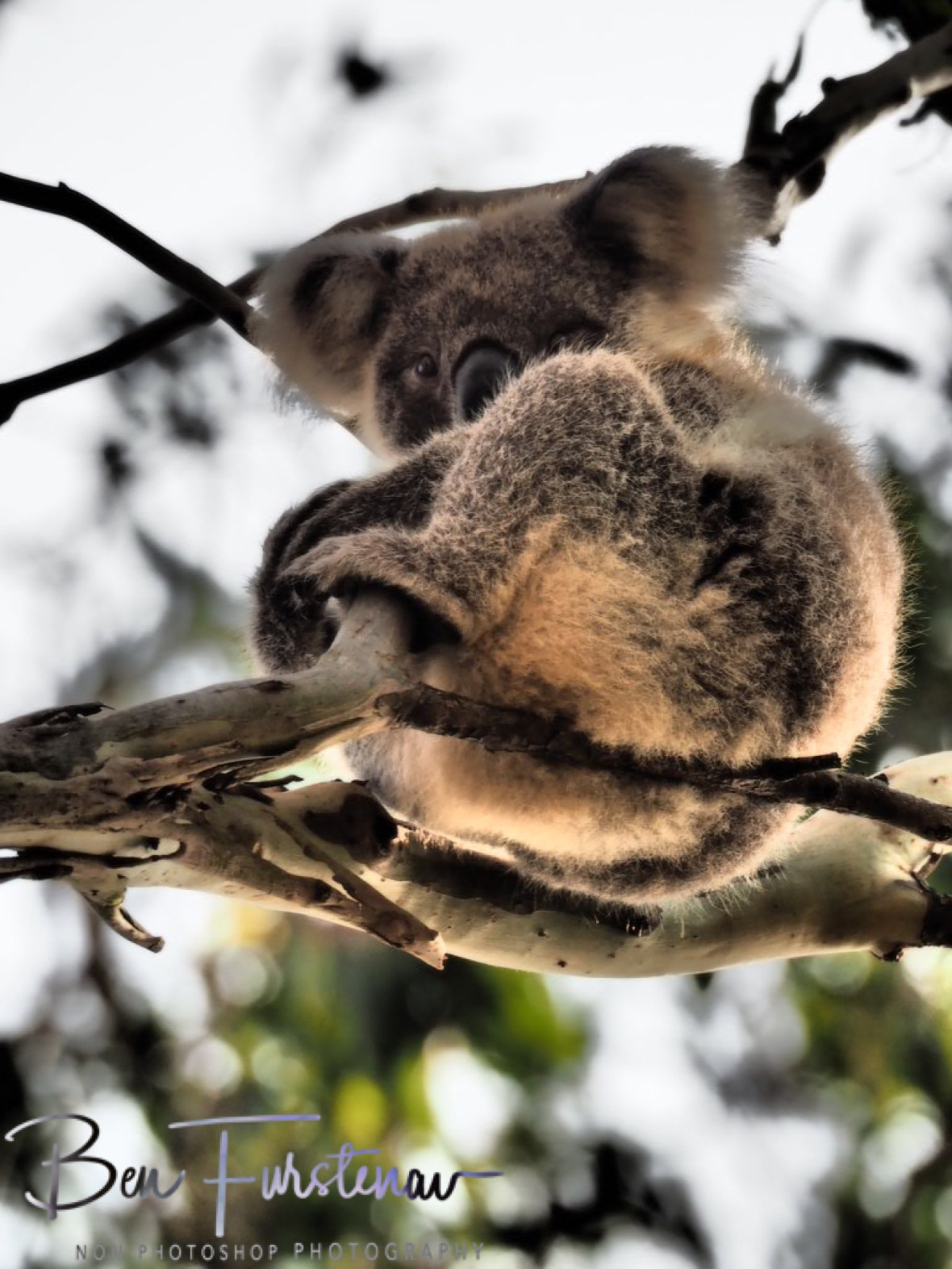 Cute but tired at Woodburn, Northern New South Wales, Australia