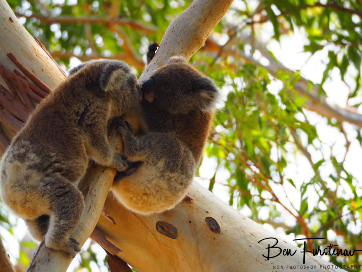Action packed surprise koalas  at Woodburn, Northern New South Wales, Australia