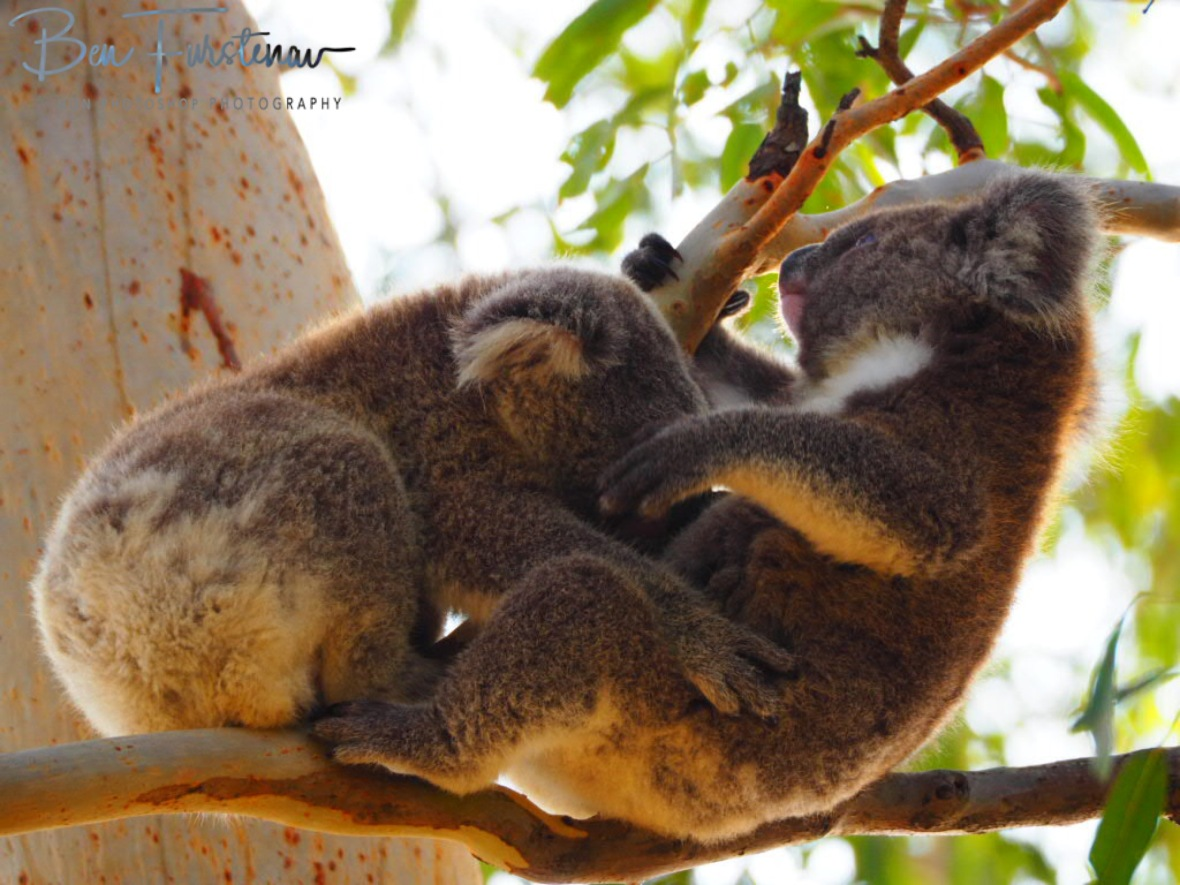 Comfortable position for mom and youngster! at Woodburn, Northern New South Wales, Australia