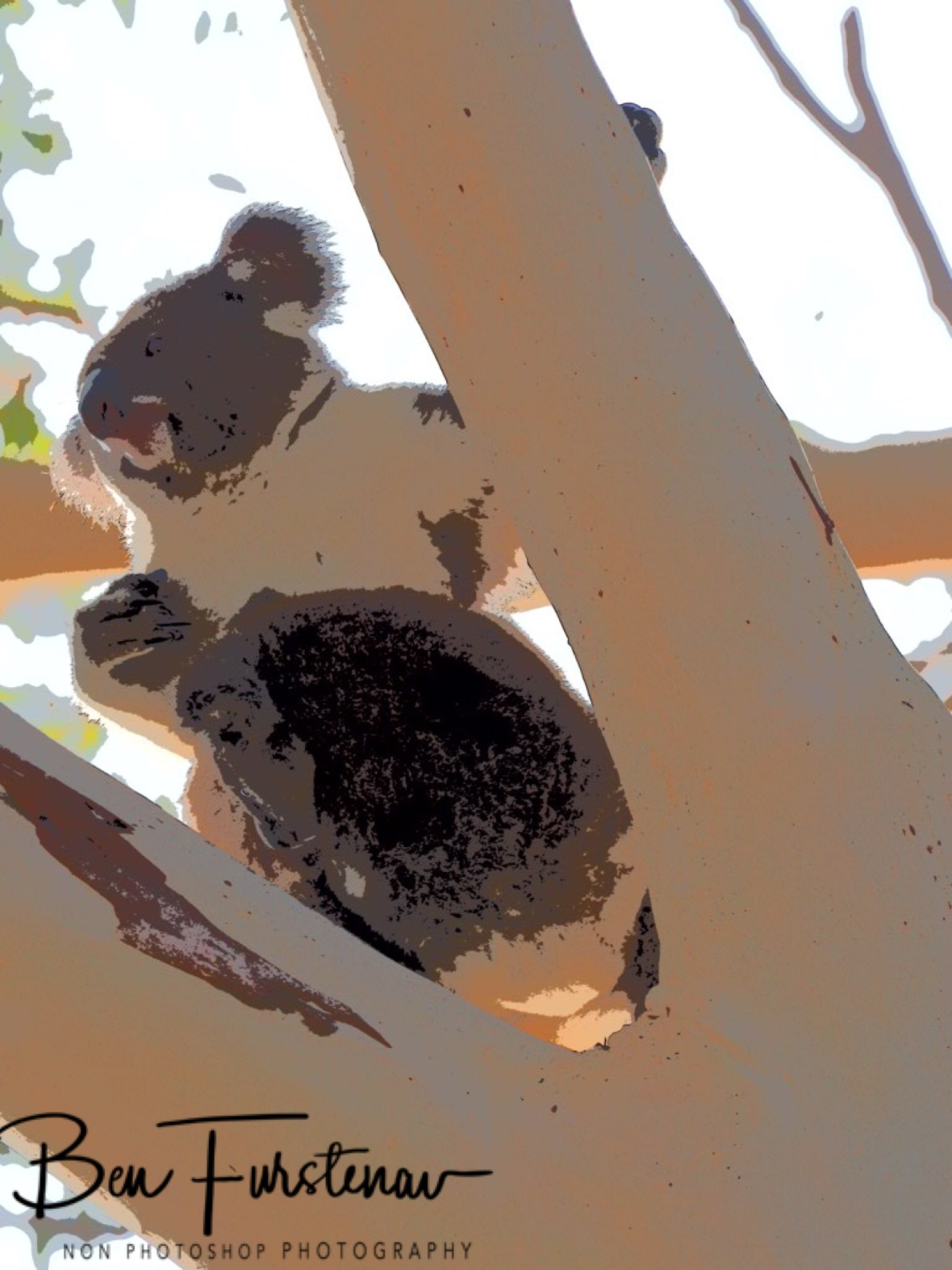 koala gymnastics at Woodburn, Northern New South Wales, Australia