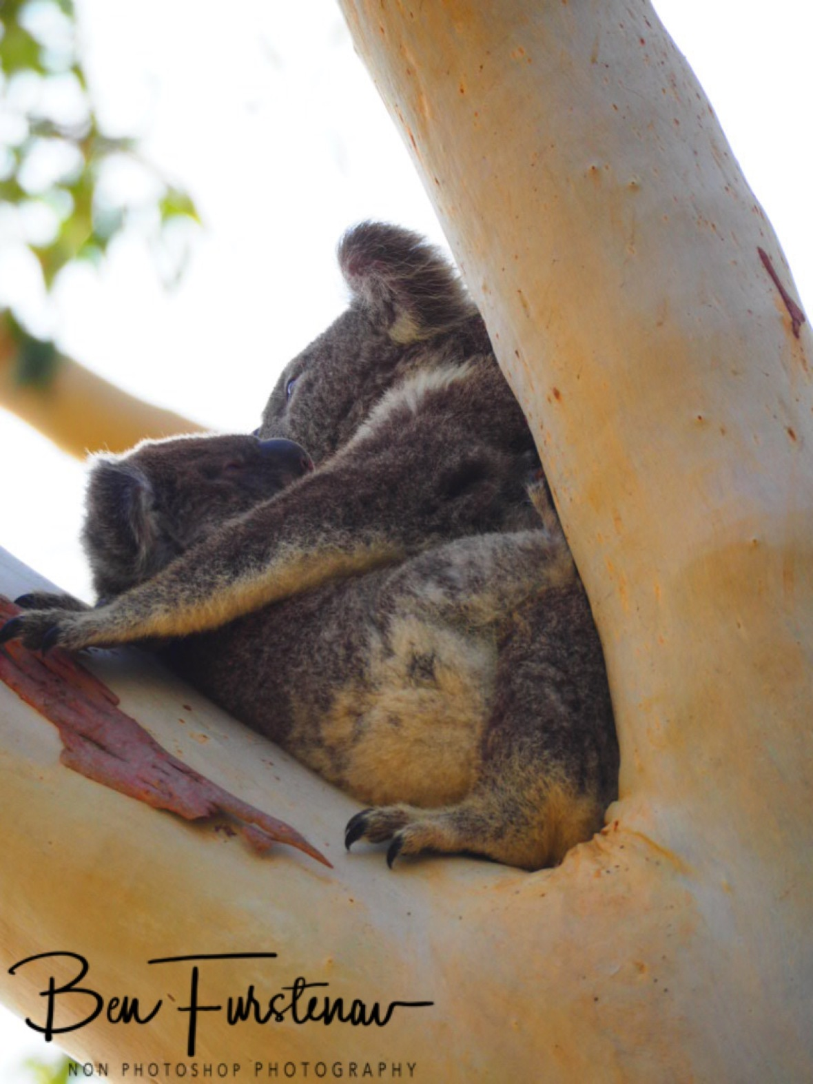 a very young koala appeared at Woodburn, Northern New South Wales, Australia