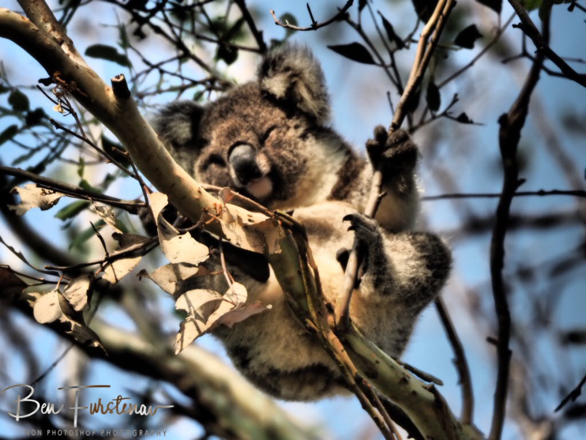 Bluey Bear more awake? at Woodburn, Northern New South Wales, Australia