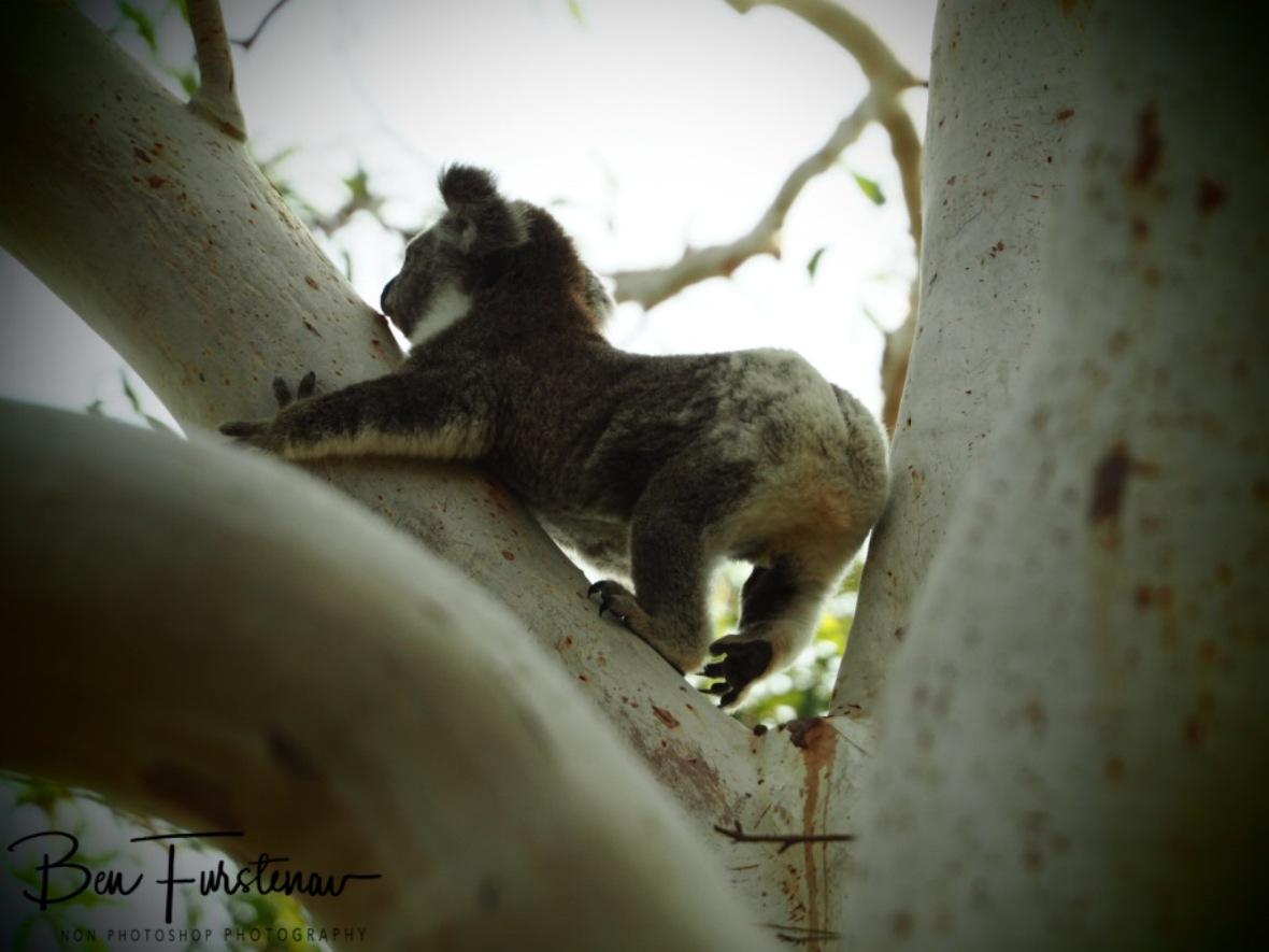 Koala-robics at Woodburn, Northern New South Wales, Australia