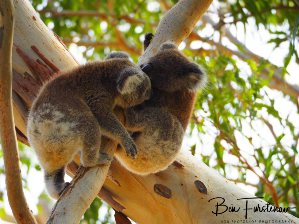 Hungry for mother and milk at Woodburn, Northern New South Wales, Australia