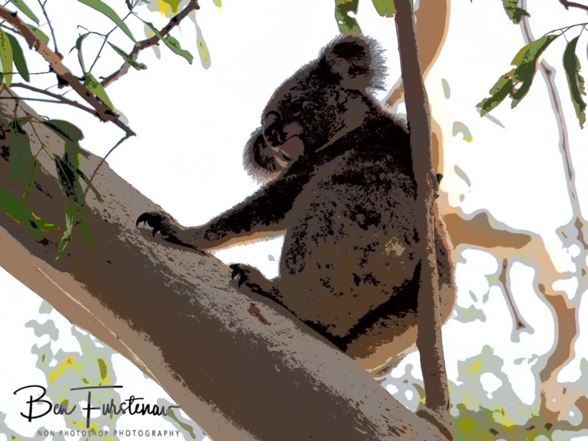 Still not a happy koala at Woodburn, Northern New South Wales, Australia