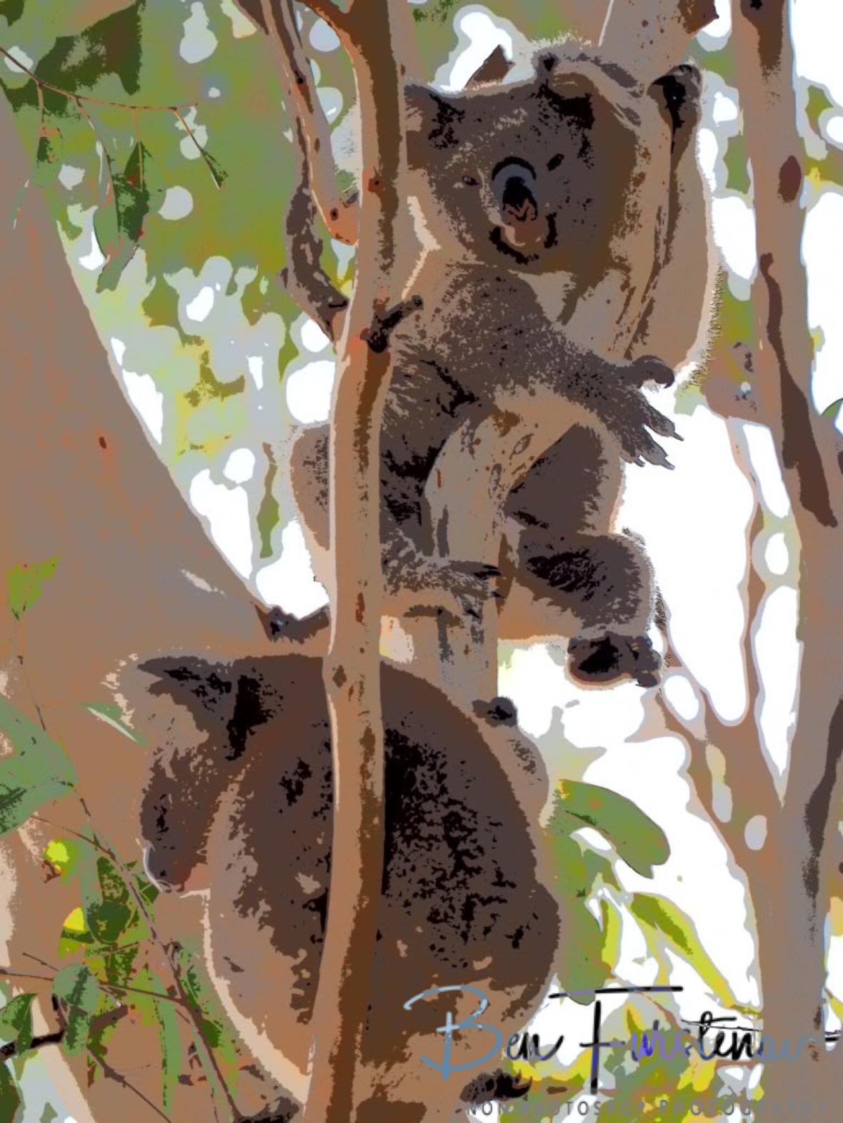 Sulking suckling at Woodburn, Northern New South Wales, Australia