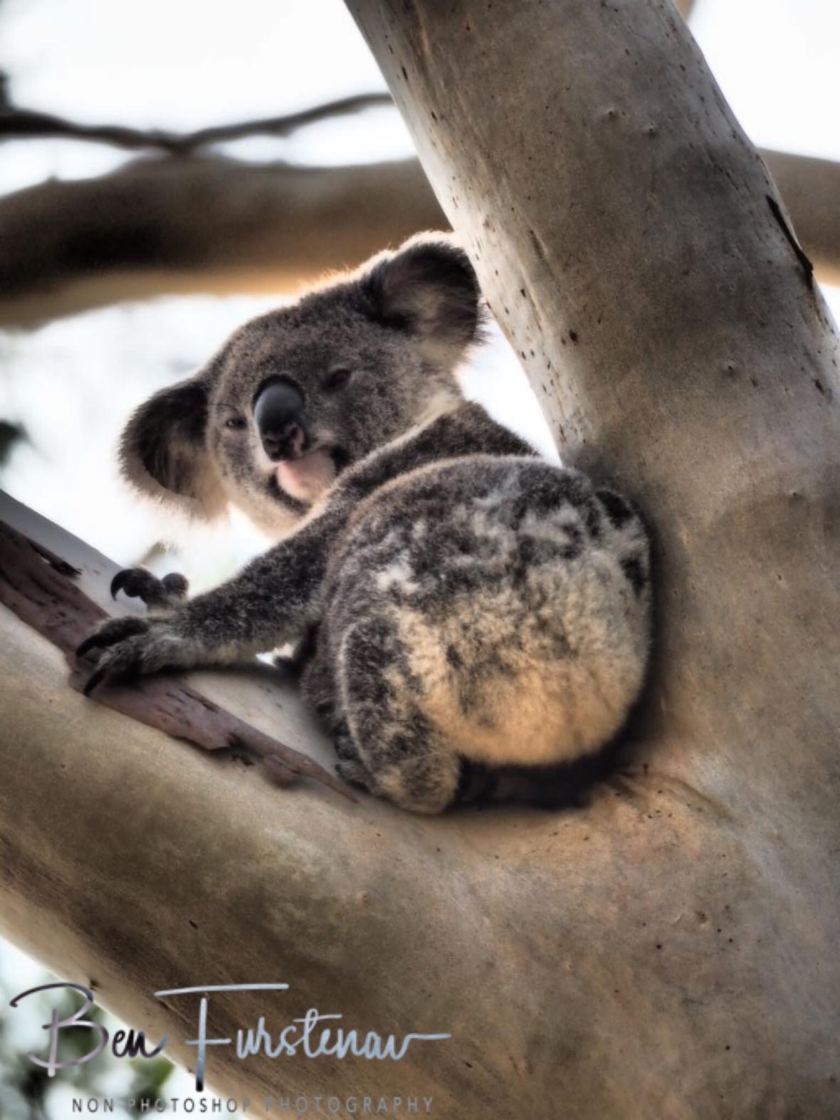Different koala, same impression  at Woodburn, Northern New South Wales, Australia