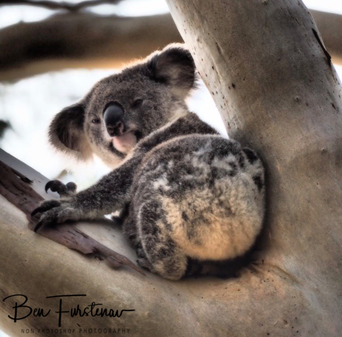 This koala looks a bit mischievous at Woodburn, Northern New South Wales, Australia