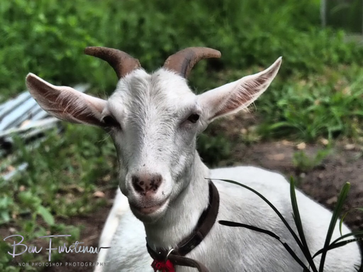 Sandi the Watch Goat, Wyralla, Northern New South Wales, Australia