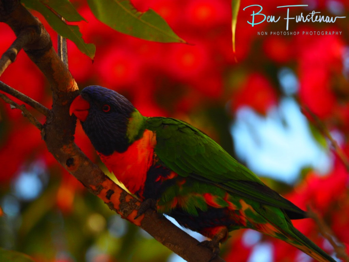 Colourful awards for the lorikeets at Evans Head, Northern New South Wales, Australia