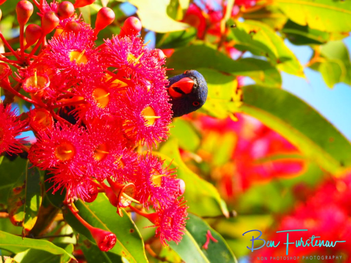 Hide and seek for nectar at Evans Head, Northern New South Wales, Australia