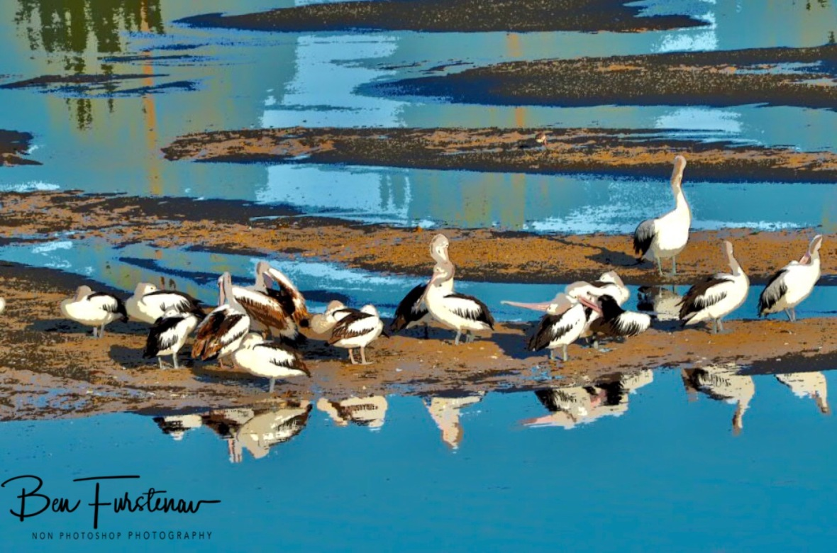 Pelicans flock at low tide at Evans Head, Northern New South Wales, Australia