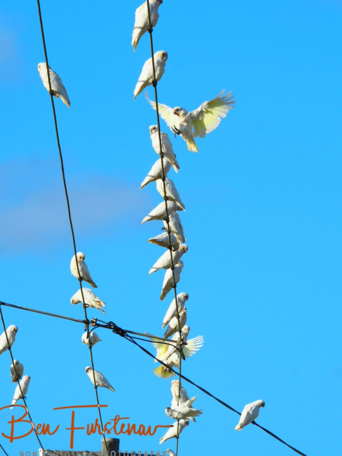 Corellas Show up in large numbers at Evans Head, Northern New South Wales, Australia