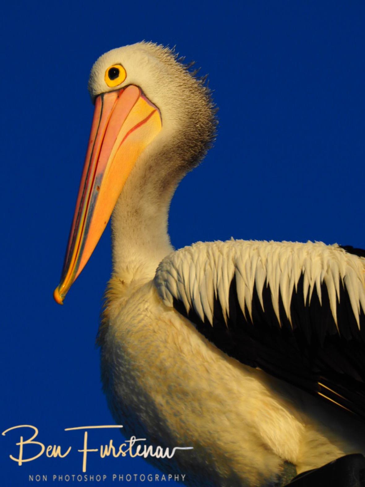 Beak a boo at Evans Head, Northern New South Wales, Australia