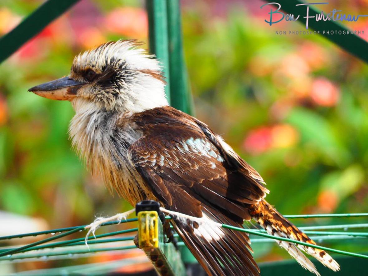 Kookaburras drops by at Evans Head, Northern New South Wales, Australia