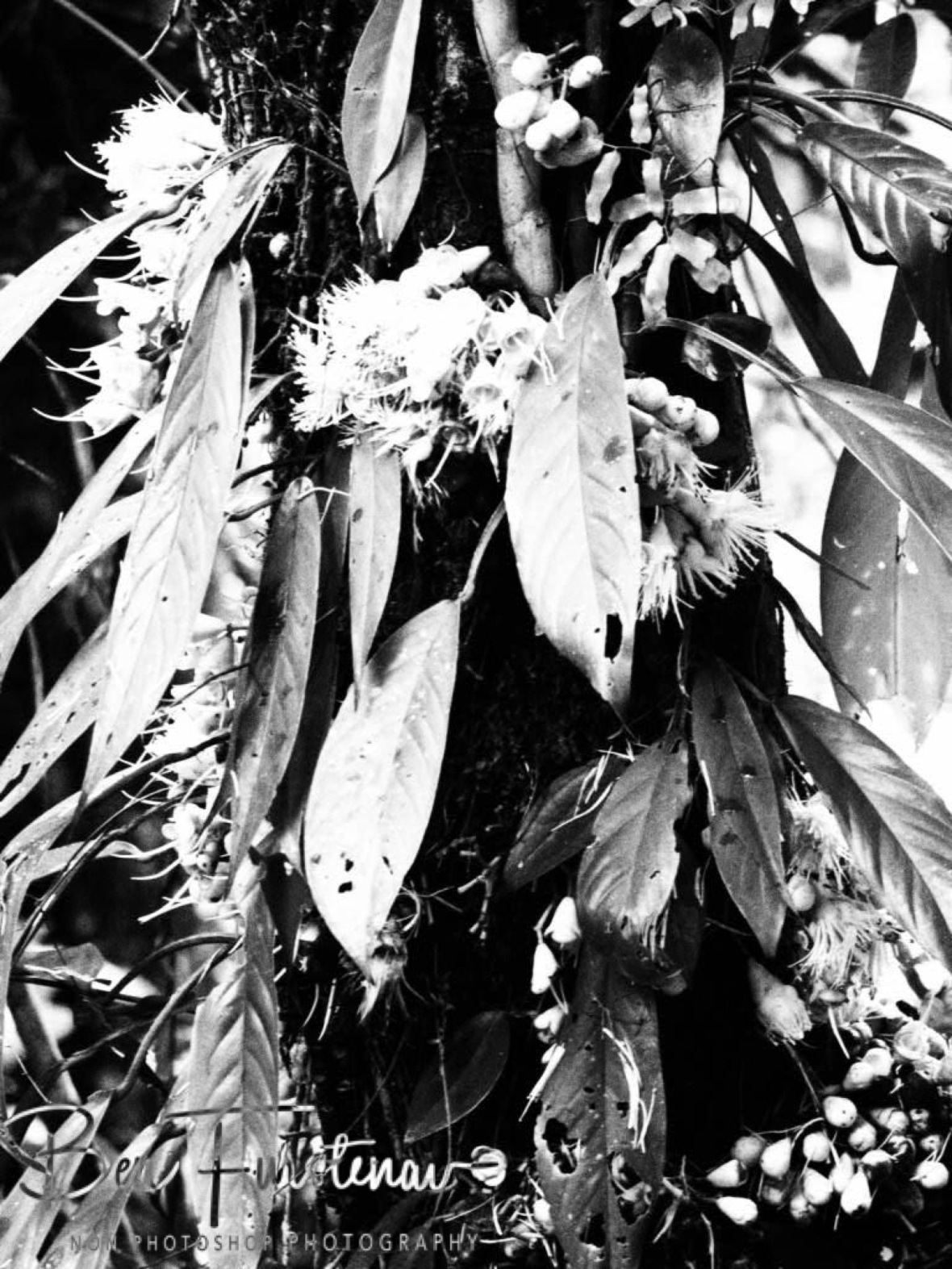 Floral display in black and white at Babinda, Tropical Northern Queensland, Australia