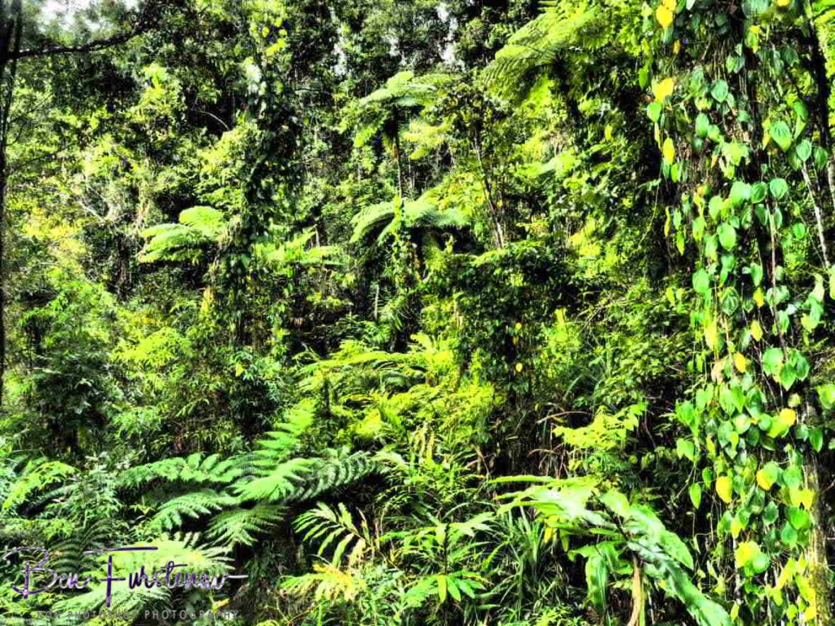 Cassowary haven at Babinda, Tropical Northern Queensland, Australia
