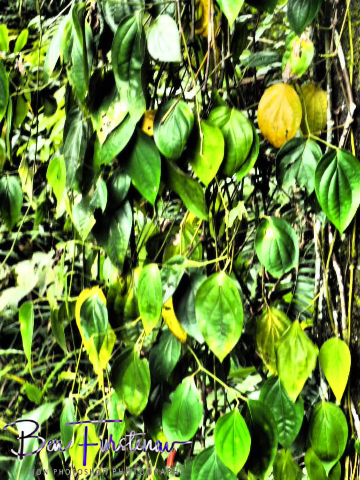 Leafy display at Babinda, Tropical Northern Queensland, Australia