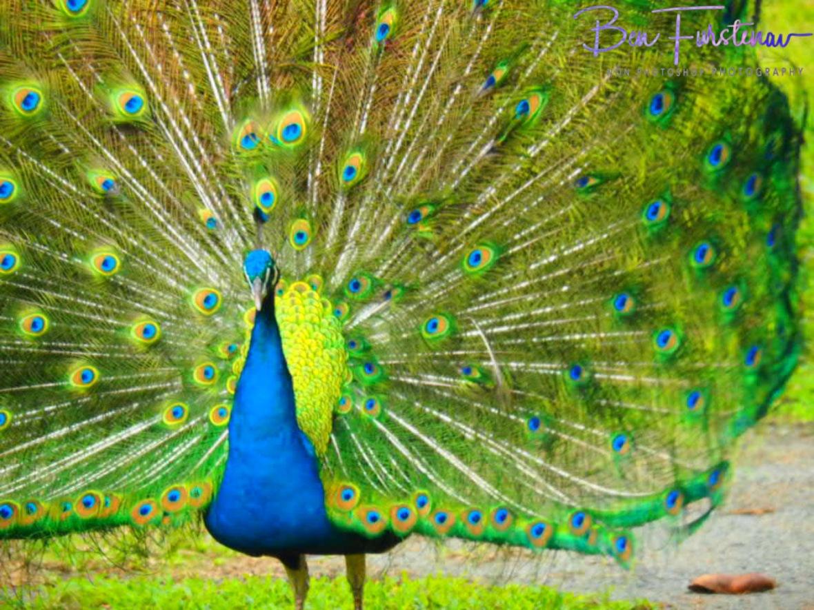Peacock gala at Babinda, Tropical Northern Queensland, Australia