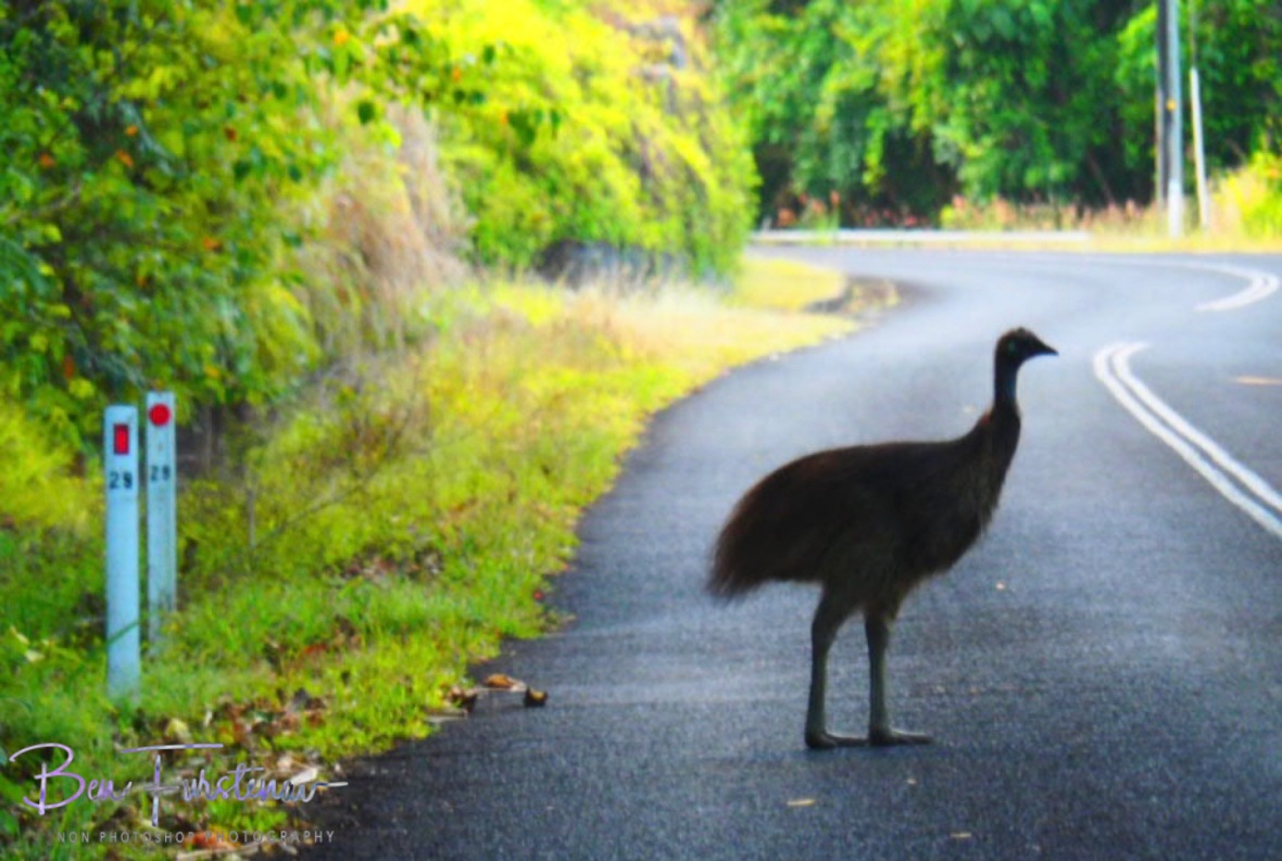 Why does the chicken cross the road? @ Etti Bay, Tropical Northern Queensland, Australia