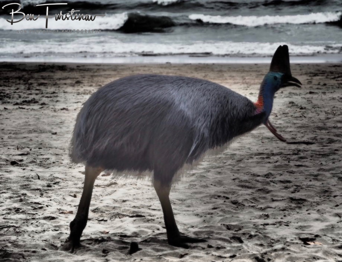 A cassowary on the beach @ Etti Bay, Tropical Northern Queensland, Australia