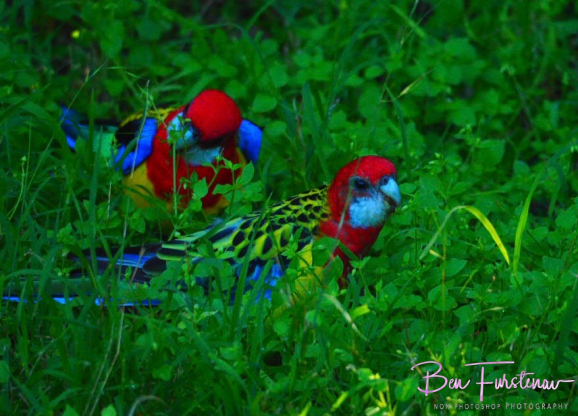 Rosella Family @ Hat Head, Northern New South Wales, Australia