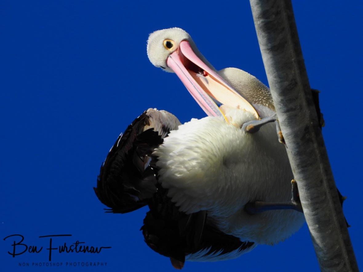 Peaking the beak  @ Evans Head, Northern New South Wales, Australia