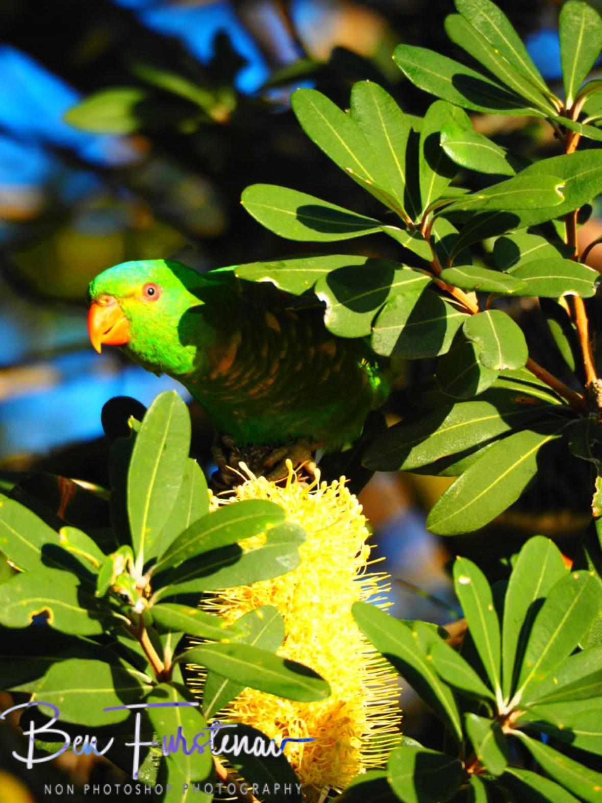 Beakaboo @ Crowdy Head, Northern New South Wales, Australia