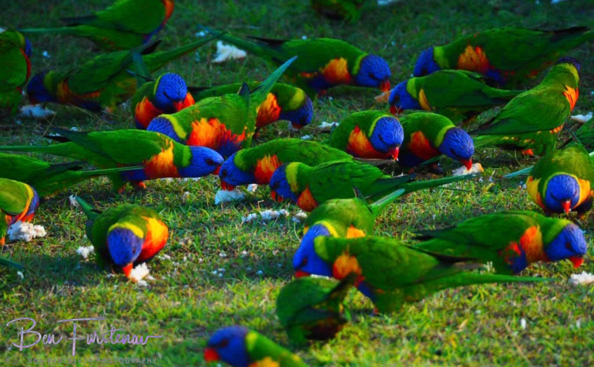 Lorikeet feeding station @ Hat Head, Northern New South Wales, Australia