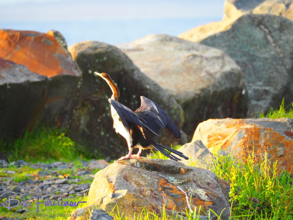 Shag on a rock @ Crowdy Head, Northern New South Wales, Australia