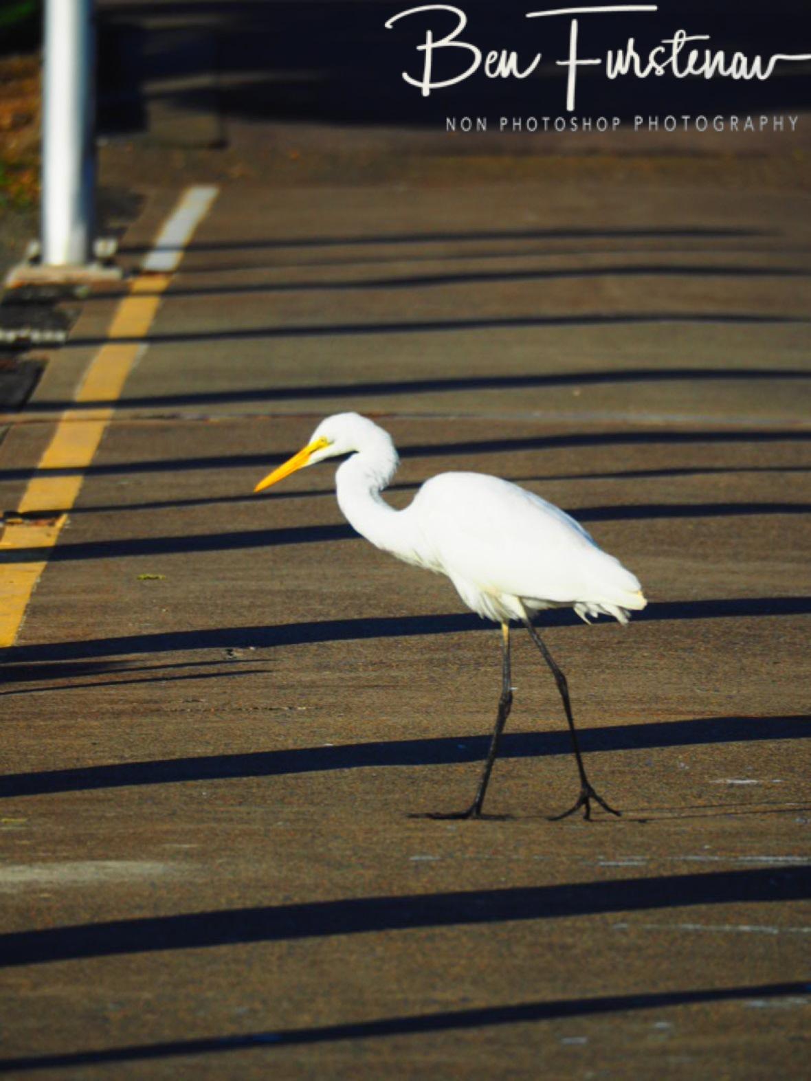 Jetty stalker @ Crowdy Head, Northern New South Wales, Australia