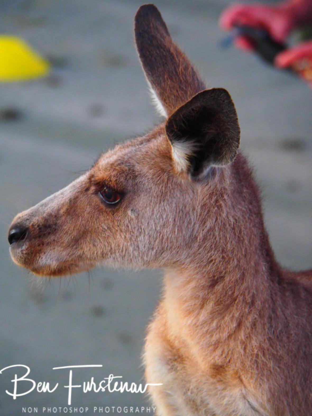 Skippy, the lone kangaroo @ Cape Hillsborough, Tropical Northern Tropical, Australia
