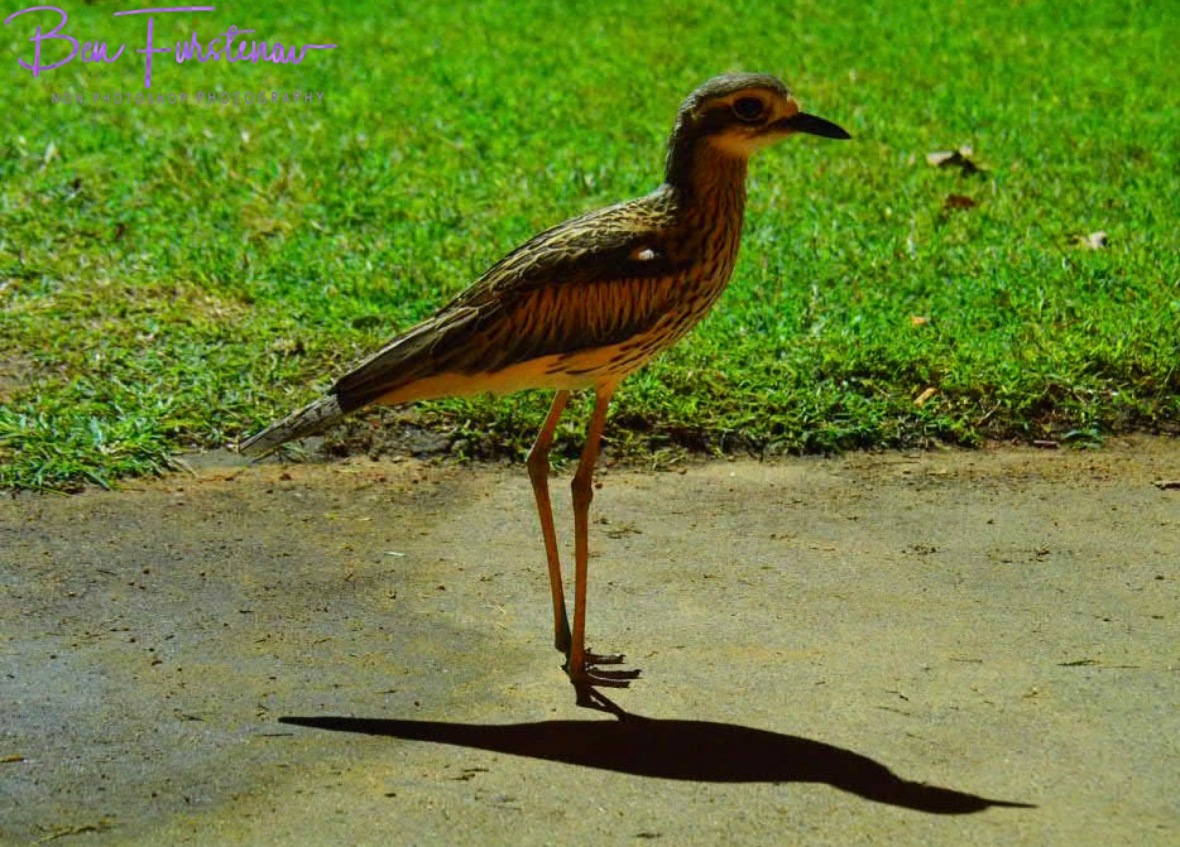 Is it the same curlew? @ Townsville, Northern Tropical Queensland, Australia