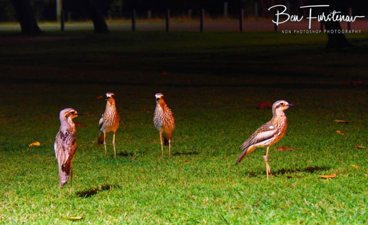 Surrounded by curlews @ Townsville, Northern Tropical Queensland, Australia