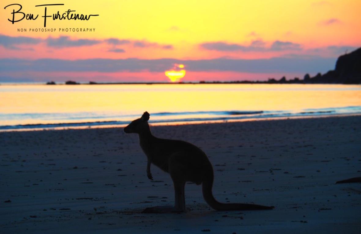 A lone Agile Wallaby @ Cape Hillsborough, Tropical Northern Tropical, Australia