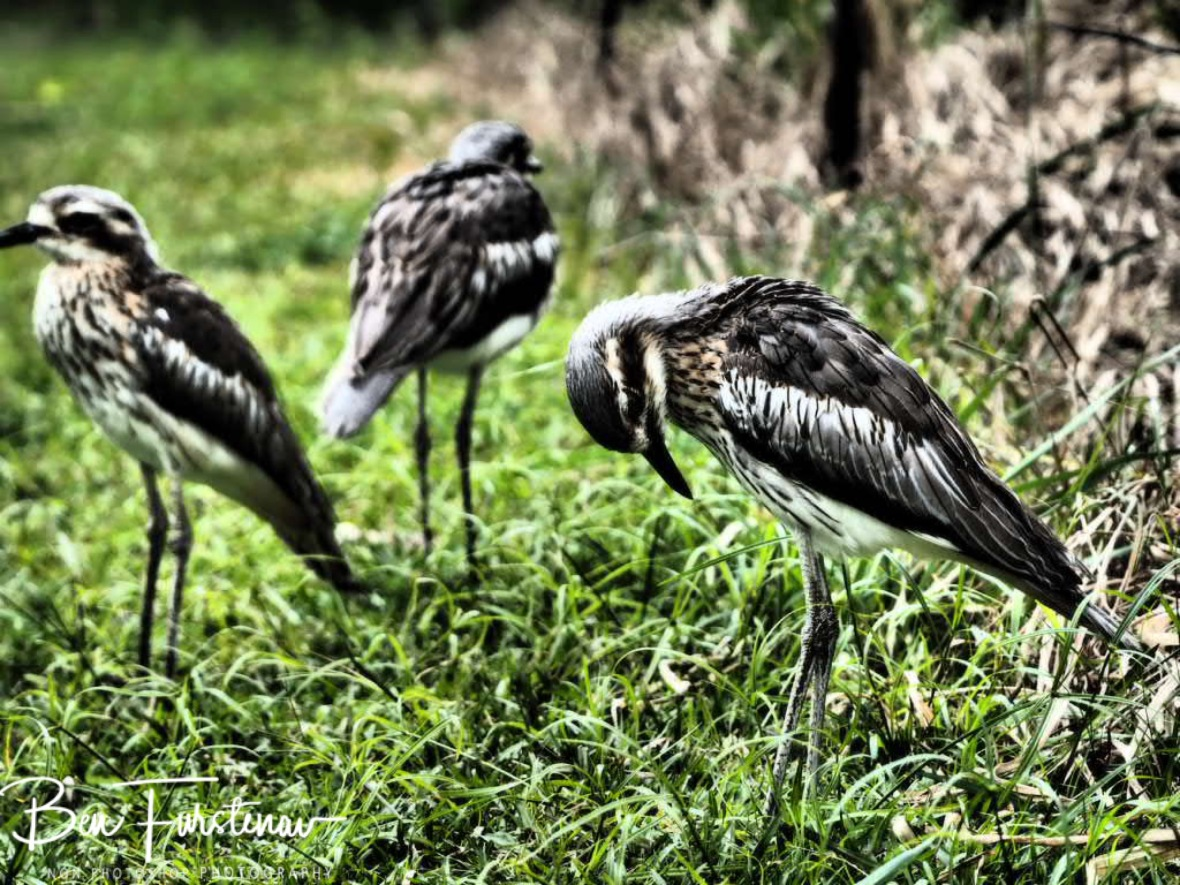 Curlew family @ Babinda Boulders, Northern Tropical Queensland, Australia
