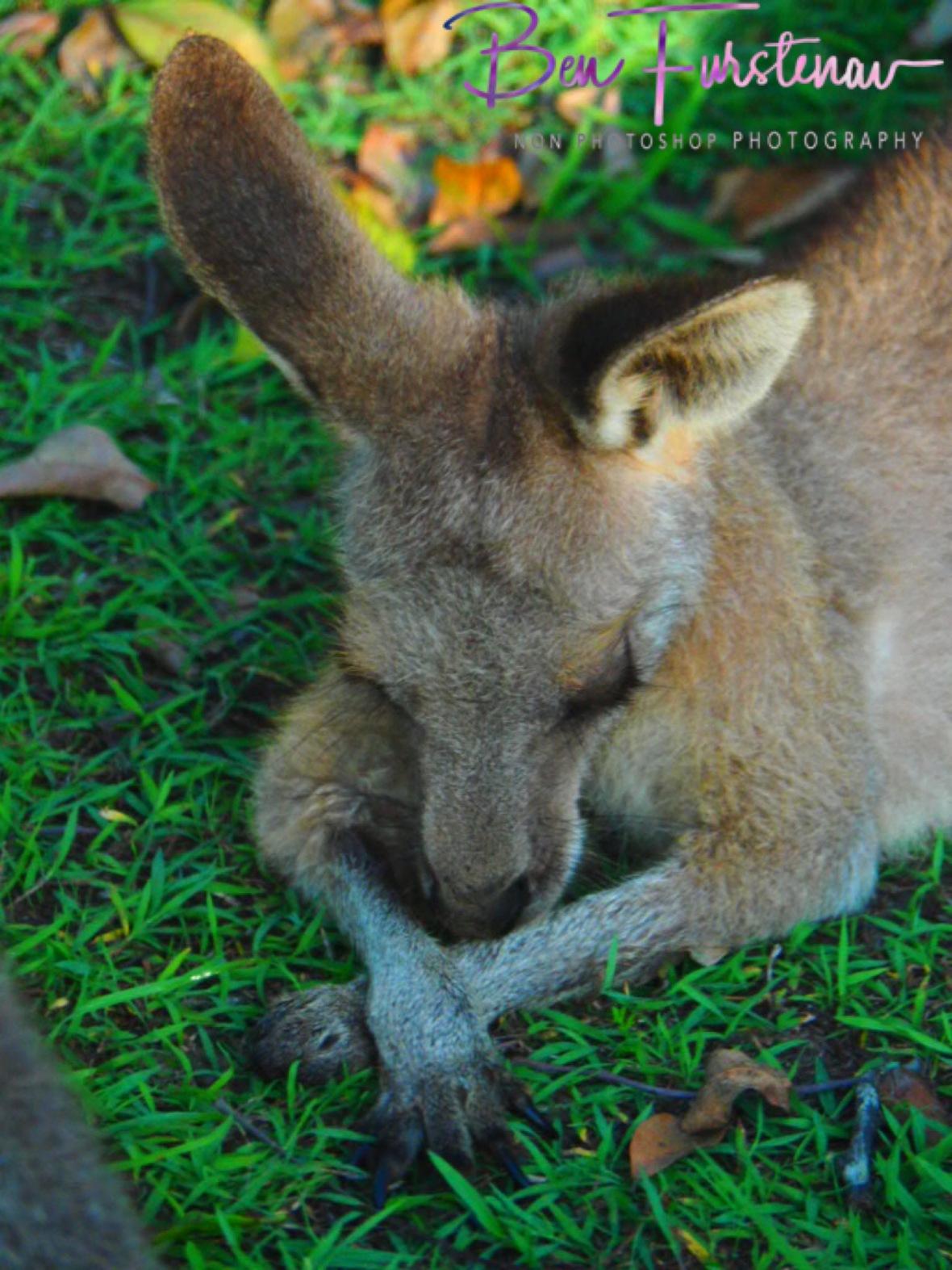 Plum-tugged @ Woody Head, Northern New South Wales, Australia