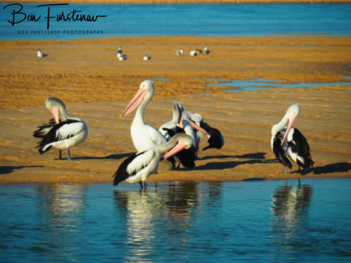 Pelicans all around @ The Entrance, Central Coast, New South Wales, Australia