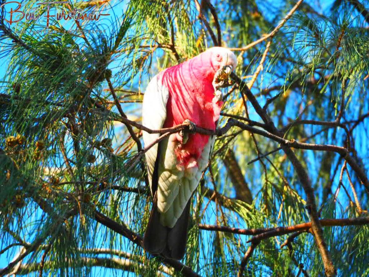 Parrot pretzel @ Woolgoolga, Northern New South Wales, Australia