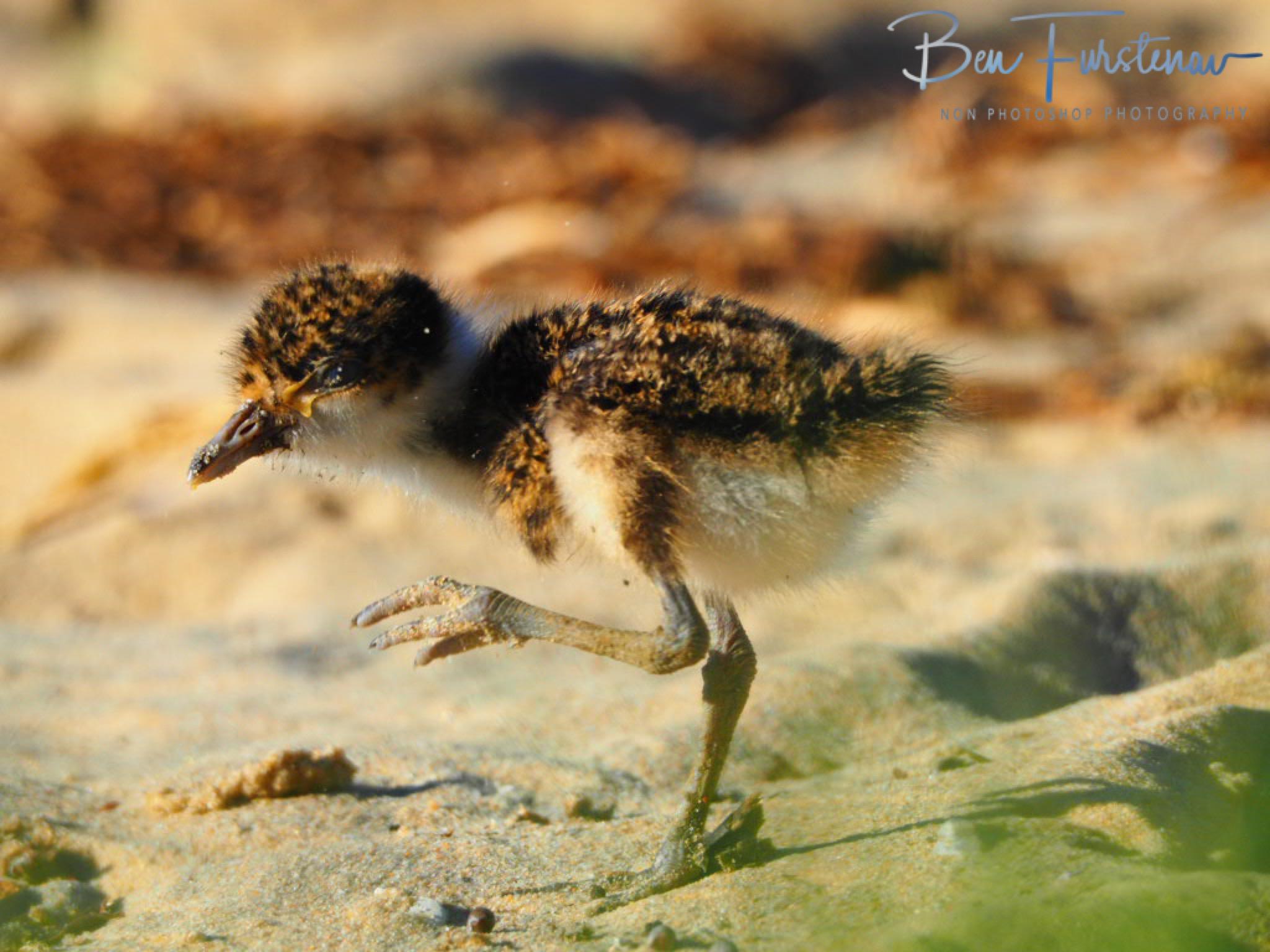 Like their parents @ Deception Bay, South-East Queensland, Australia
