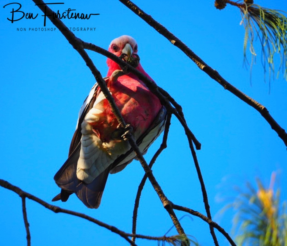 Pine cone vendor @ Woolgoolga, Northern New South Wales, Australia