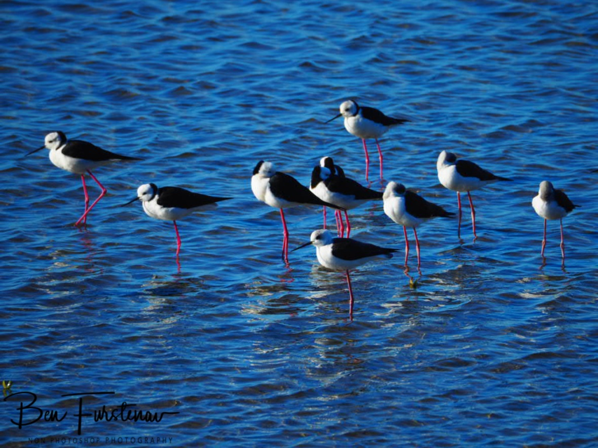 Plovers @ Deception Bay, Queensland, Australia