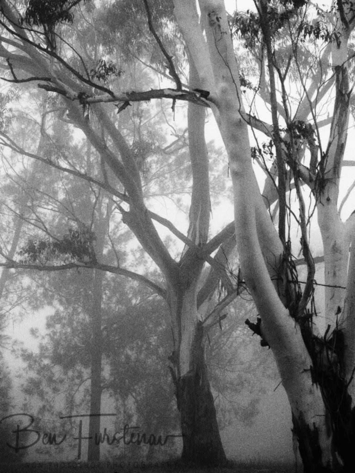 Dense forest in dense fog @ Lismore area, Northern New South Wales, Australia