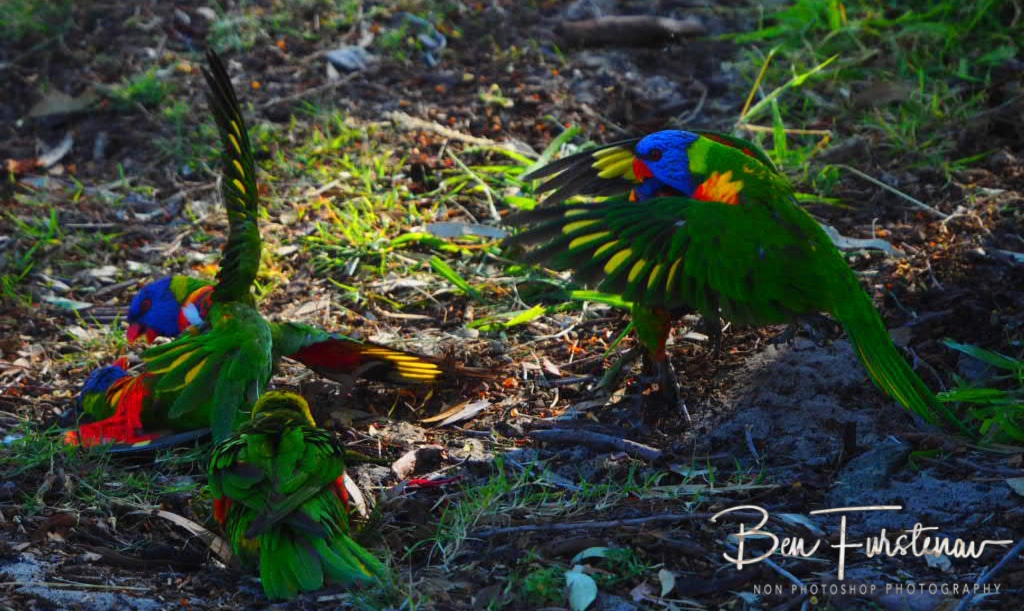 Colourful disputes @ Bribie Island, South-East Queensland, Australia